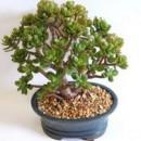 Денежное дерево фен-шуй