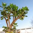 Денежное дерево фото