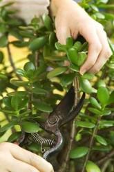 Денежное дерево - как ухаживать