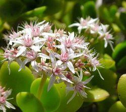 Цветок живое дерево фото