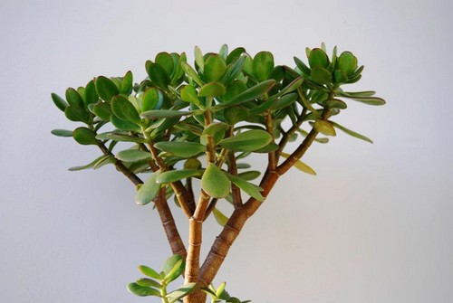 Крассула денежное дерево фото
