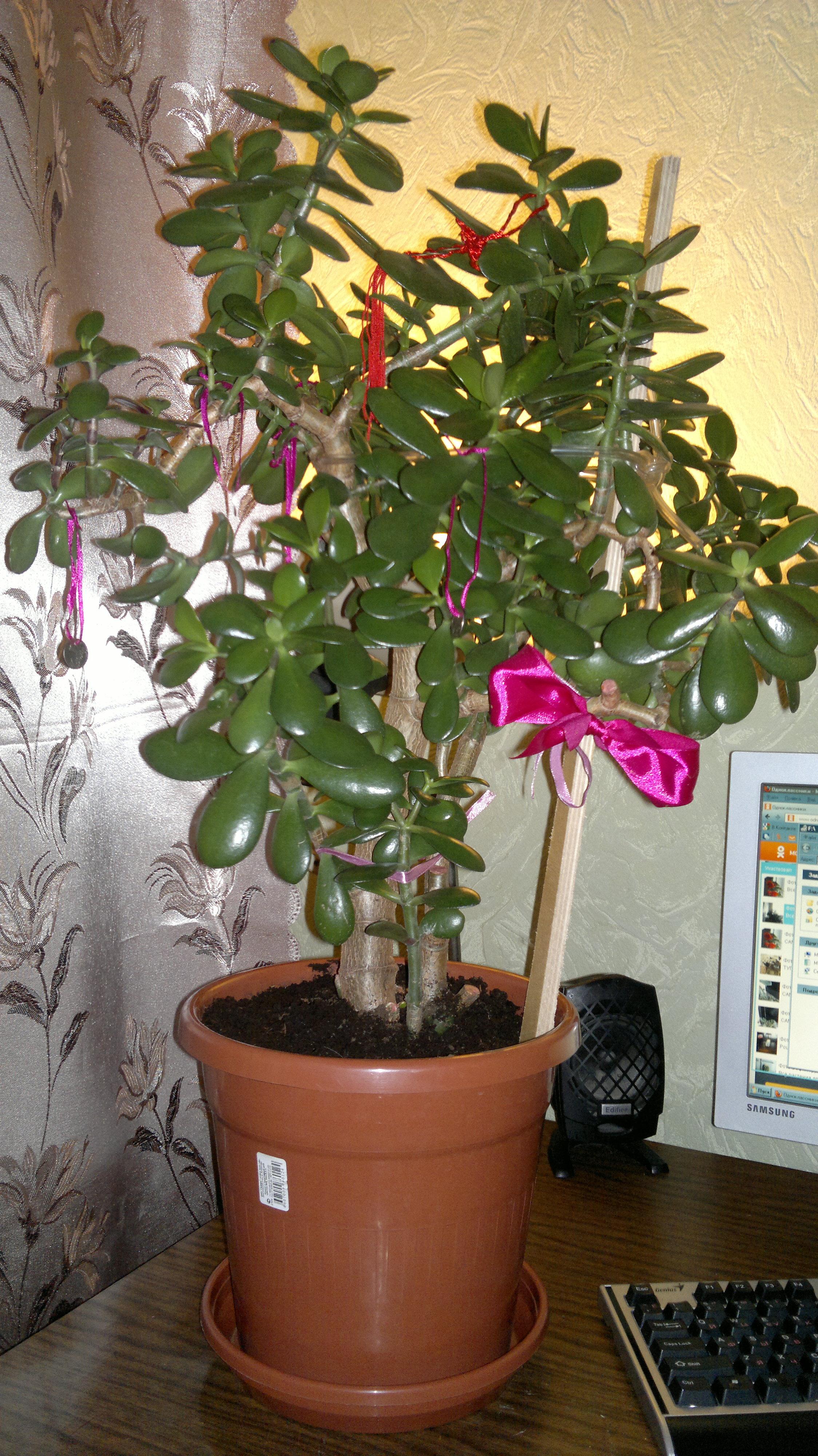 Когда цветет денежное дерево в домашних условиях фото