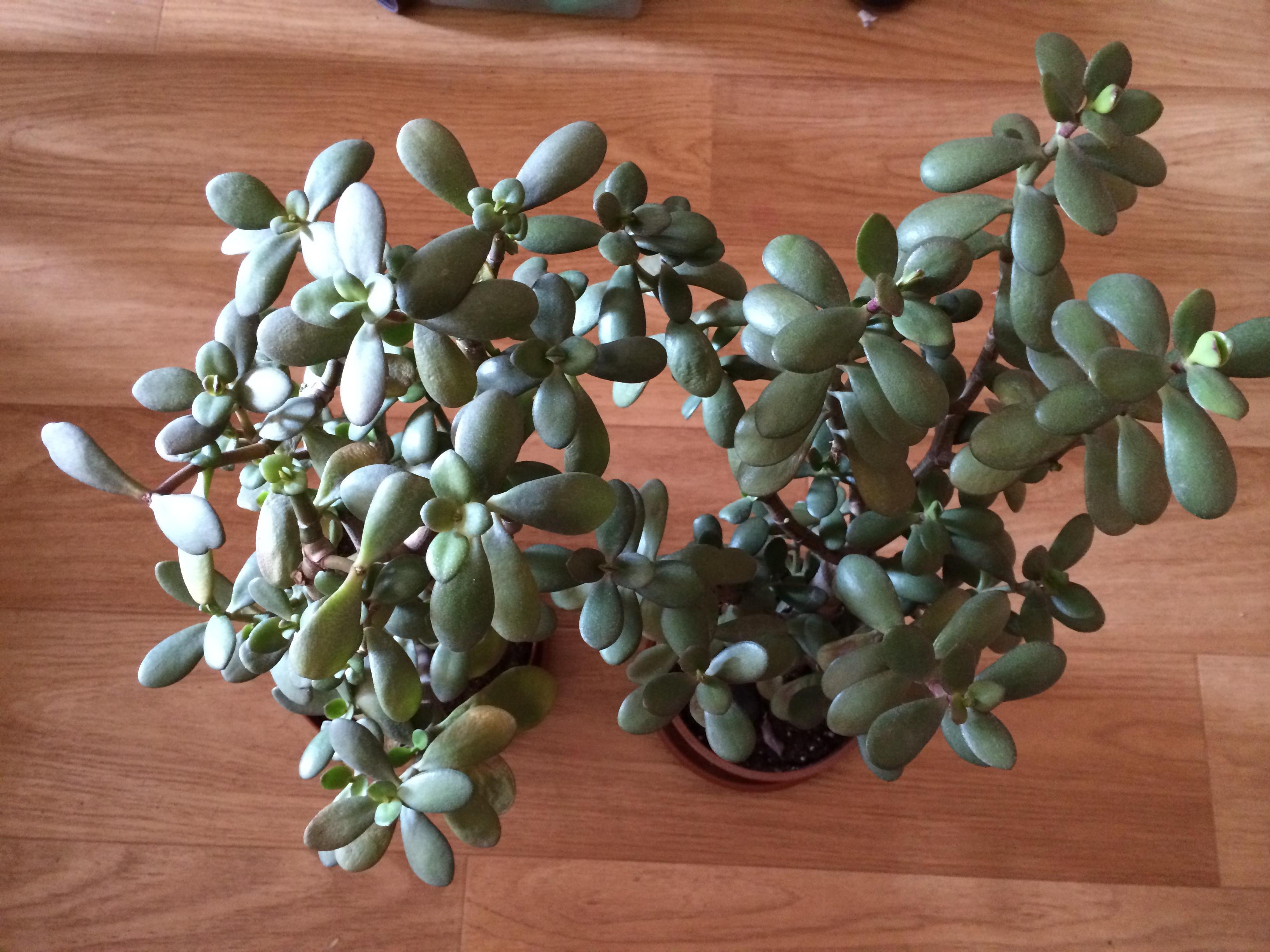 Цветок денежное дерево уход в домашних условиях фото